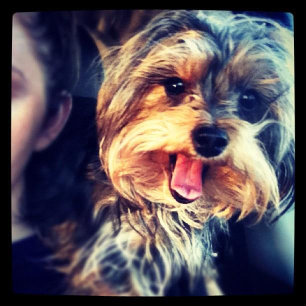 The cutest dog in the world- This Yorkiepoo names LuLu